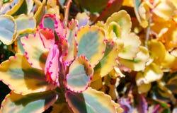 Close-up succulente gele bloem van de cactus royalty-vrije stock foto's