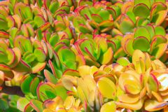 close-up succulente gele installatie van de cactus Echeveria royalty-vrije stock foto
