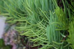 Close up of succulents Royalty Free Stock Photos