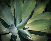 Close up suculento da planta do cacto da agave verde imagem de stock