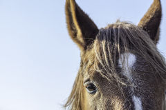 Close up of a Suffolk Punch horse eye and forehead Royalty Free Stock Photos