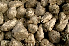 Close-up of sugar-beets. The harvest of sugar-beets produces enormous heaps of turnips along the road at the country in the Netherlands. The photograph shows a Royalty Free Stock Image