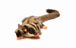A close up of a sugar glider Stock Photography