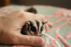 Close up of Sugar Glider. Close up of Sugar Glider in a hand Stock Photos