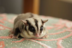 Close up of Sugar Glider. Royalty Free Stock Photography