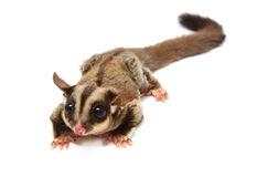 A close up of a sugar glider looking photographer Stock Images
