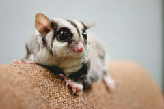 Close up of Sugar Glider. Stock Images