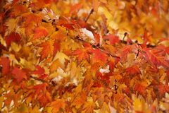 Sugar maple tree branch in a fall. Close-up sugar maple tree branch in a fall royalty free stock photo