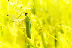 Close up of sugar pea plant Stock Image