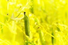 Close up of sugar pea plant Stock Image