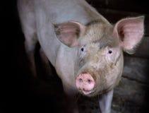 Close-up sujo do porco na baixa chave foto de stock royalty free