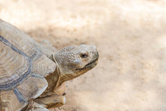 Close up sulcata tortoise or African spurred tortoise Geochelone sulcata. In natural Royalty Free Stock Image