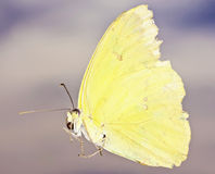 A Close Up Sulfur Butterfly, Family Pieridae Royalty Free Stock Photo