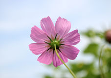 Close up sulfur Cosmos Flower. Stock Photos