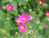 Close up sulfur Cosmos Flower. Royalty Free Stock Images