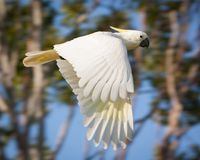 Cockatoo Flying Through the Air. Close up of a sulfur crested cockatoo flying through the air, Australia royalty free stock image