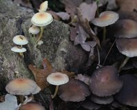 Sulphur tuft, Hypholoma fasciculare, growing on tree. Close up of sulphur tuft, in forest Stock Images