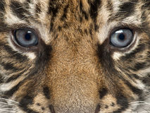 Close-up of Sumatran Tiger cub, Panthera tigris royalty free stock image