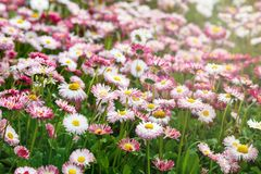Close up summer field with pink daisies. Herb plants. Floral, nature. Background stock photography