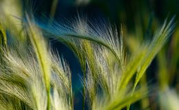 Summer Grass in the Late Afternoon Light. Close Up of Summer Grass in the Late Afternoon Light. It creates wonderful colors of blue, green, and turquoise royalty free stock photo