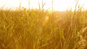 Close up summer grass on sunset meadow stock video