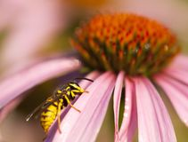 Close-up summer scene: wasp on coneflower petal Stock Images