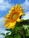 Close-up summer sunflower with cloudy blue sky. Close-up summer bright sunflower over cloudy blue sky Royalty Free Stock Images