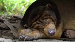 Close-up of Sun Bear sleeping in the forest between rocks and trees at zoo. Asiatic Honey Bear in nature wildlife. Helarctos malayanus species living in stock video footage