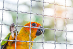 Close up sun conure Aratinga solstitialis climbing in the cage Stock Images