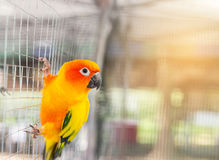 Close up sun conure Aratinga solstitialis Stock Photography