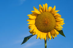 Close-up of sun flower against a blue sky Royalty Free Stock Images