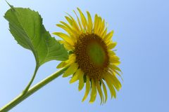 Close-up of sun flower against. A blue sky Royalty Free Stock Images