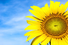 Close-up of sun flower against a blue sky Royalty Free Stock Photo