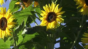 Close-up of sun flower against a blue sky. Beautiful sunflowers blossom against blue sky. stock footage