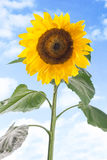 Close-up of sun flower against a blue sky stock photography