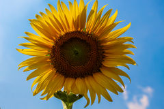 Close-up of sun flower against a blue sky. Royalty Free Stock Images