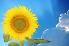 Close-up of sun flower against a over cloudy blue sky Stock Image