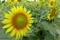 Close-up of sun flower. Agriculture nature Royalty Free Stock Image