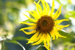 Close-up of sun flower and blue sky - image stock photo