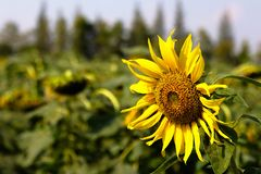 Close-up of sun flower and blue sky - image stock images