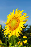 Close-up of sun flower on field. Close-up of sun flower against a blue sky on field Stock Images