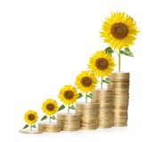 Close up Sun flower growing from coins Stock Photography