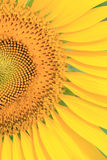 Close up sun flower Royalty Free Stock Images