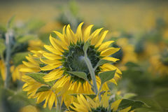 Close up sun flowers in green field Royalty Free Stock Image