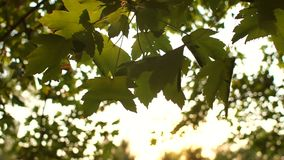 Close-up of sun glare in the tree foliage. Sun beams through tree. Close-up of sun glare in the tree foliage. Golden sunlight in green tree in summer. Tree at stock video