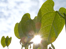 Close up of sun shining behind broad bean plants Stock Photo