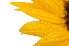 Close up of sunflower. Isolated on white background Stock Photography