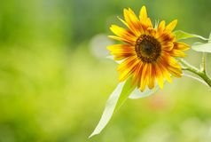 Close up sunflower. Royalty Free Stock Images