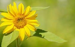 Close up sunflower. Stock Photo