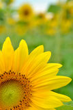 Close-up of a Sunflower Stock Photos